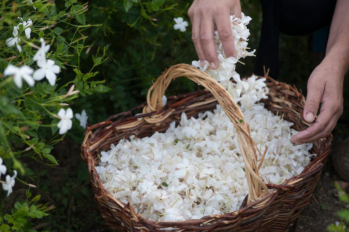 Grasse Jasmine Festival - Susan Wright Photographer